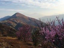 Persikablomning i berget Arkivfoto