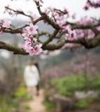 Persikablomning i våren, porslin arkivfoto