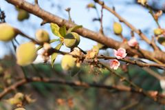 Persikablomning med små persikor i bakgrunden royaltyfri fotografi