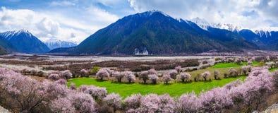 Persikablomning och höglandkornfält i tibetan by royaltyfri bild