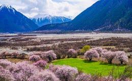 Persikablomning och höglandkornfält i tibetan by royaltyfri fotografi