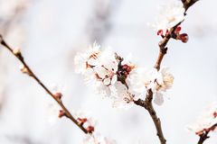 Persikablomning på våren royaltyfria bilder