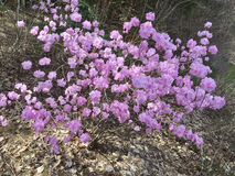 Persikablomning på våren Royaltyfri Fotografi