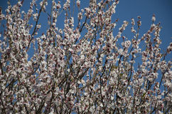 persikablomningar Arkivbild