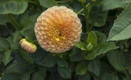 Persikafärgdahlia i blom Royaltyfri Foto