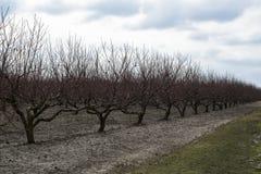 Persikafruktträdgård i vinter Royaltyfria Foton