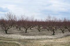 Persikafruktträdgård i vinter Royaltyfri Bild