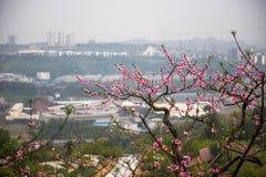Persikafruktträdgård nära modern stad royaltyfri fotografi