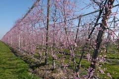 Persikan blommar i mars royaltyfri foto