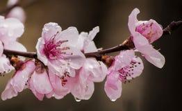Persikan blommar i min trädgård royaltyfria foton