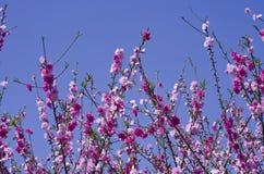 Persikan blomstrar blommor är alla öppen Arkivfoto