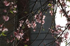 Persikan blomstrar i mars Royaltyfri Fotografi