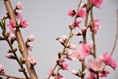 Persikan blomstrar i Peking i v?r royaltyfri fotografi