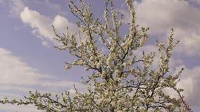 Persikan blomstrar i trädgården, vindslagen, skiner värme solen och, bildshowerna som persikan blomstrar på ramen stock video