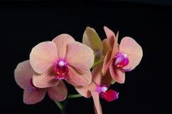 Persikan färgade phalaenopsisorkidéblomman på svart bakgrund Royaltyfria Foton