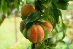 Persikaträd med frukter arkivbild