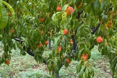 Persikaträd med frukter i trädgården Fotografering för Bildbyråer