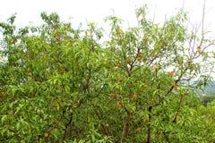 Persikaträd med många mogen frukt Arkivfoto
