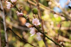 Persikaträd med rosa persikablommor arkivbilder