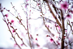 Persikaträdlantgård under vårsnö med blomningar Arkivbild