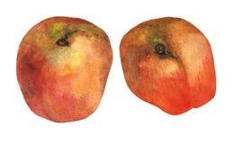 persikor Hand dragen vattenfärgmålning Royaltyfria Foton