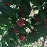 Persikor i ett träd Royaltyfri Bild