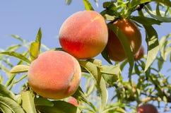 Persikor på träd Royaltyfri Fotografi