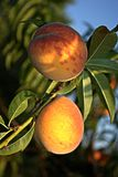 Persikor på trädet Arkivbilder