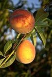 Persikor på trädet Arkivfoto
