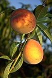Persikor på trädet Royaltyfria Foton