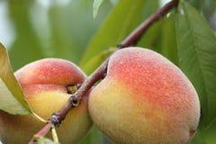 Persikor på trädet Fotografering för Bildbyråer