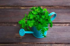 Persil frais vert dans le pot d'arrosage bleu au-dessus du backgr en bois gris Photos libres de droits