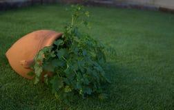 Persilja i en kruka i en trädgård i Seville Spanien Royaltyfri Bild