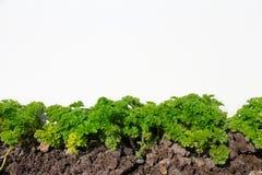 persilja i grönsakträdgården som isoleras på vit Royaltyfri Foto