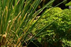 Persilja och gräslökar Arkivbild