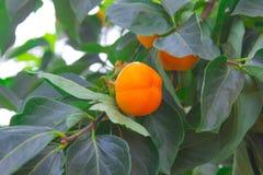 Persimmon δέντρο και φωτεινό πορτοκάλι Στοκ Φωτογραφίες