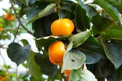 Persimmon δέντρο και φωτεινό πορτοκάλι Στοκ φωτογραφίες με δικαίωμα ελεύθερης χρήσης
