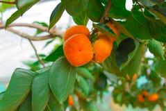 Persimmon δέντρο και φωτεινό πορτοκάλι Στοκ Εικόνες