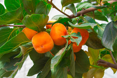 Persimmon δέντρο και φωτεινό πορτοκάλι Στοκ εικόνες με δικαίωμα ελεύθερης χρήσης