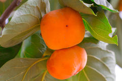 Persimmon δέντρο και φωτεινό πορτοκάλι Στοκ εικόνα με δικαίωμα ελεύθερης χρήσης