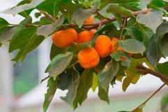 Persimmon δέντρο και φωτεινό πορτοκάλι Στοκ Εικόνα