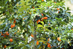 Persimmon δέντρο με τα φρούτα της οικογένειας Ebenaceae Στοκ εικόνες με δικαίωμα ελεύθερης χρήσης