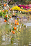 Persimmon δέντρο με τα ώριμα φρούτα στο πάρκο, Νότια Κορέα Στοκ Φωτογραφία