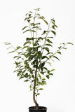 Persimmon δέντρο στο δοχείο λουλουδιών (Diospyros) Στοκ φωτογραφία με δικαίωμα ελεύθερης χρήσης