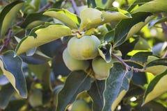 Persimmon δέντρο Στοκ εικόνες με δικαίωμα ελεύθερης χρήσης