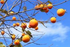 Persimmon δέντρο Στοκ Εικόνες
