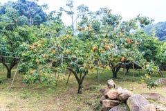 Persimmon δέντρο Στοκ εικόνα με δικαίωμα ελεύθερης χρήσης
