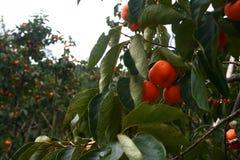 Persimmon δέντρο Στοκ Εικόνα