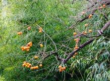 Persimmon δέντρο με τα φρούτα Στοκ Εικόνες