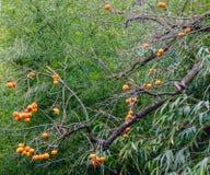 Persimmon δέντρο με τα φρούτα Στοκ Φωτογραφίες